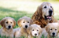 mom-dog-and-puppies-wallpaper